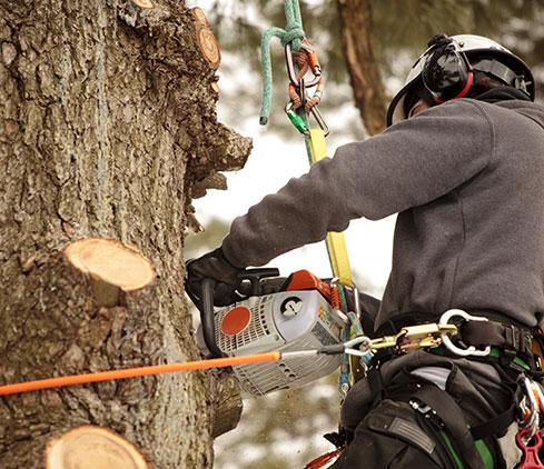CT GREEN LLC employee cutting a tree down